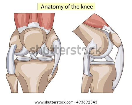 Anatomy Knee Joint Cross Section Showing Stock Vector (Royalty Free ...