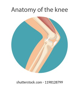Anatomy of the knee joint, The main parts of the knee joint. Knee-joint For basic medical education. Vector illustration