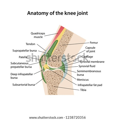 anatomy knee joint main parts labeled stock vector royalty free Diagram of Knee and Leg anatomy of the knee joint with main parts labeled sagittal view of a healthy knee
