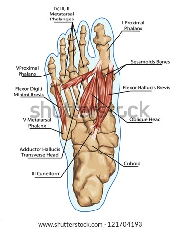 Image result for royalty free images of sesamoid bones