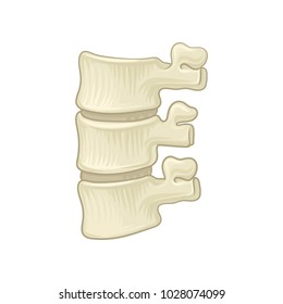 Anatomy of lumbar spine. Part of human backbone. Vertebral bones and intervertebral disks. Design for educational medical book. Detailed flat vector icon