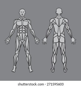Anatomy of male muscular system, exercise and muscle guide. Human muscles vector art, front view, back view. Vector illustration