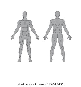 anatomy of male muscular system on a white background  human muscles guide   front view