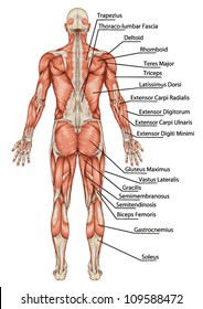 Anatomy of male muscular system posterior view full body - didactic