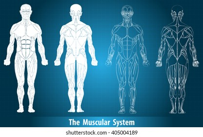 Anatomy of male muscular system,muscle system