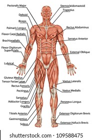 Anatomy of man muscular system - anterior view - didactic