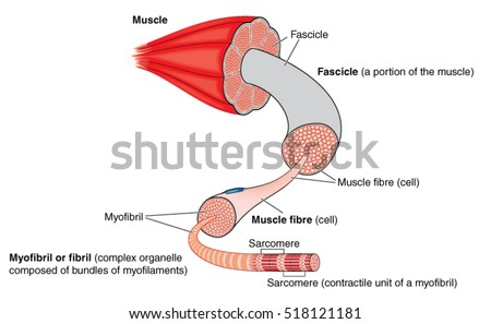 Anatomy Muscle Gross Structure Level Myofibril Stock Vector Royalty
