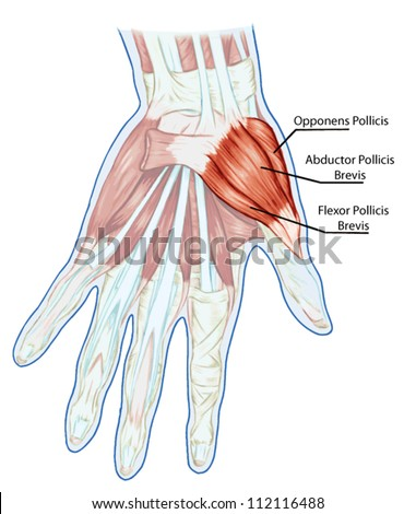 Diagram Of Hand Ligaments - Data Wiring Diagrams •
