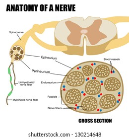 Anatomy of a nerve, vector illustration (for basic medical education, for clinics & Schools)