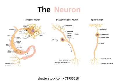 anatomy nervous system and neuron classification vector