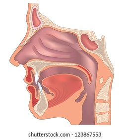Nose Anatomy Images, Stock Photos & Vectors | Shutterstock