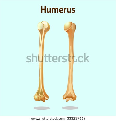 Anatomy Physiology Humerus Bones Element Vector Stock Vector ...