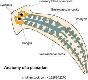 Anatomy of a planarian