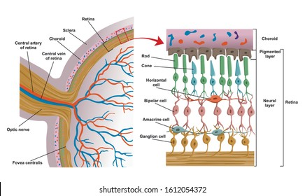 Anatomy of the retina. Rods and cones.