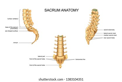 anatomy of the sacrum and lumbar vertebrae
