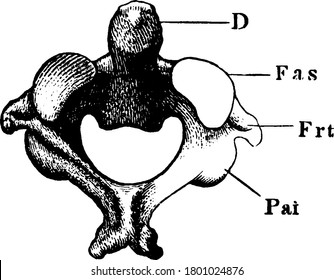 In anatomy, the second cervical vertebra of the spine is named the axis or epistropheus. Shown here is the anterior articular surface of axis vertebra, vintage line drawing or engraving illustration.