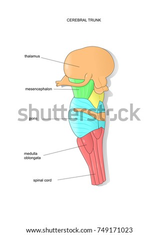 Anatomy Section Cerebral Trunk Medical Terms Stock Vector Royalty
