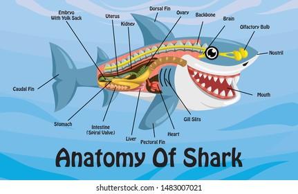 Anatomy Of Shark Cartoon Design Vector Illustration