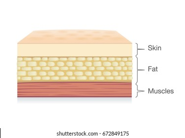 Anatomy of Skin layer, fat cell and muscle layer in vector style. Illustration about medical and health.