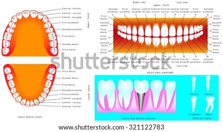 Anatomy Teeth Adult Teeth Anatomy Dental Stock Vector (Royalty Free ...