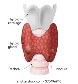 Anatomy of the thyroid gland (included throat, thyroid gland and trachea)