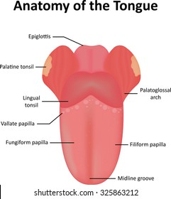 tongue anatomy images, stock photos \u0026 vectors shutterstock grade 3 parts of tongue how to draw and label the tongue
