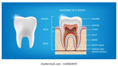 The anatomy of the tooth. the structure of the tooth. The layout of the Healthy tooth and cut isolated on blue background with description. enamel, dentin, pulp tooth with roots. Vector illustration.