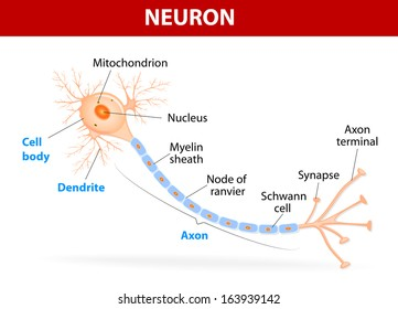Human brain diagram images stock photos vectors shutterstock anatomy of a typical human neuron axon synapse dendrite mitochondrion myelin ccuart