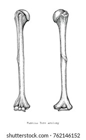 Anatomy of upper human arm bones hand drawing vintage style,Human humerus