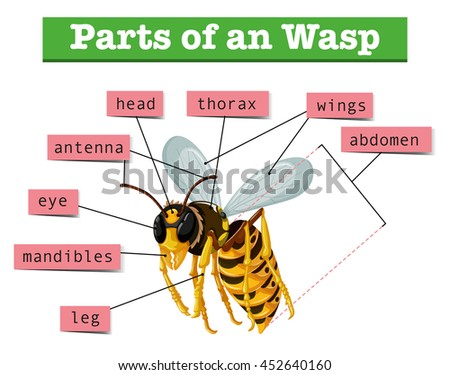 Hornet Anatomy Diagram Example Electrical Wiring Diagram