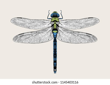 Anax imperator, emperor dragonfly, blue emperor. Highly detailed vector hand drawn illustration.