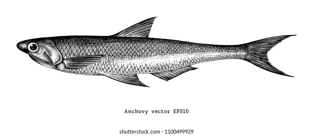 Anchovy hand drawing engraving illustration