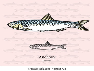 Anchovy. Vector illustration with refined details and optimized stroke that allows the image to be used in small sizes (in packaging design, decoration, educational graphics, etc.)