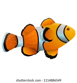 Anemone fish isolated on white. Clownfish in yellow, black and white Clownfish in yellow, black and white colors. Aquarium fish realistic vector illustration in flat style design eps10