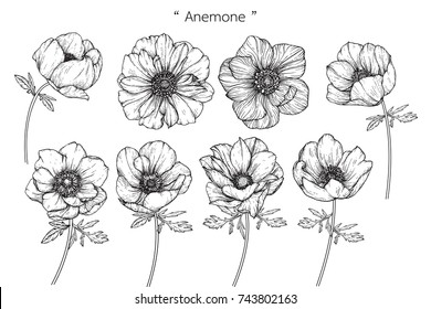 Anemone flowers drawing with line-art on white backgrounds.