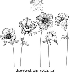 Anemone flowers drawing vector illustration and line art