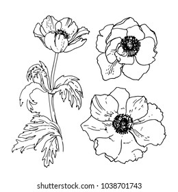 Anemone. Flowers drawn by a line on a white background. Vector sketch of garden flowers
