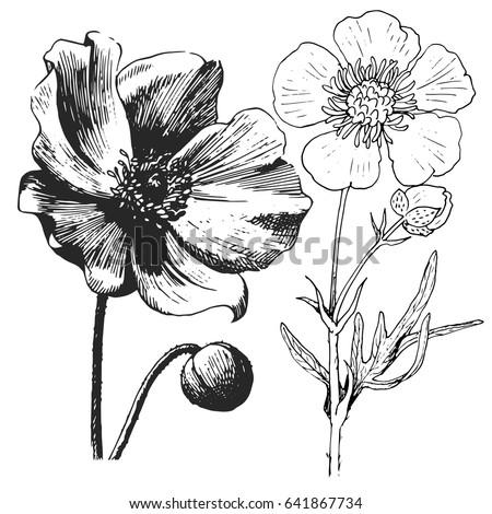 Anemone Poppy Flower Drawing Vector Illustration Stock Vector