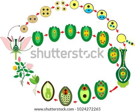 Angiosperm Plant Life Cycle Diagram Life Stock Vector Royalty Free