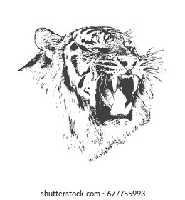 angry tiger is growling.Hand drawn vector illustration