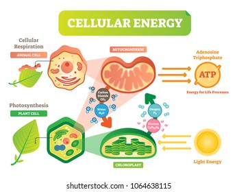 Photosynthesis diagram images stock photos vectors shutterstock animal and plant cell energy cycle vector illustration diagram with mitochondrion and chloroplast interaction ccuart Image collections