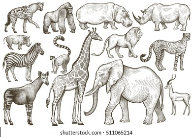 Animals of Africa. Elephant, giraffe, zebra, lion, hippo, rhino, antelope, hyena, okapi, cheetah, gorilla, warthog, lemur. Illustration Vector Art. Vintage engraving. Hand drawing. Black and white.