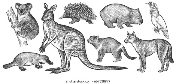 Animals of Australia set. Koala bear, wombat, echidna, dingo dog, Tasmanian devil, platypus, wallaby or kangaroo, cockatoo bird realistic isolated on white background. Vintage. Vector. Black and white