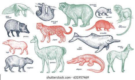 Animals with names set. Bear, battleship, tamarin, wolf, dolphin, lama, jaguar, anteater, peccary, sloth, tapir, capybara, caiman. Vector illustration. Red, green, black isolated on white background.