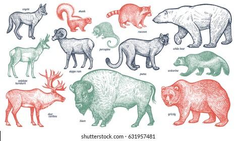 Animales con nombres definidos. Oso polar, coyote, puma, zorrillo, lobo, antílope, mapache, porcupina, reno, carnero, bisonte, pardo. Ilustración vectorial. Rojo, verde, negro aislado sobre fondo blanco.
