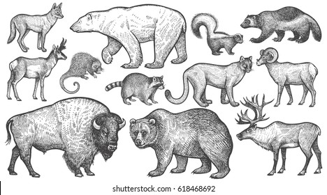 Animals of North America big set. Polar bear, coyote, puma, skunk, wolverine, horned antelope, raccoon, porcupine, reindeer, steppe ram, bison, grizzly bear. Vector illustration art. Vintage engraving
