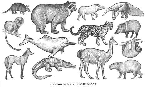 Animals of South America big set. Spectacled bear, battleship, tamarin, wolf, river dolphin, lama, jaguar, anteater, peccary, sloth, tapir, capybara, caiman. Vector illustration art. Vintage engraving
