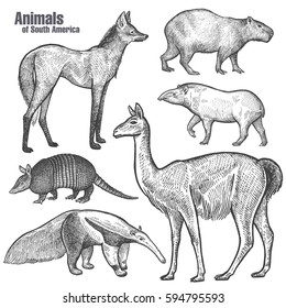 Animals of South America hand drawing. Maned Wolf, Tapir, Capybara, Armadillo, Anteater, Guanaco. Vintage engraving. Vector illustration art. Black and white. Object of nature naturalistic sketch.