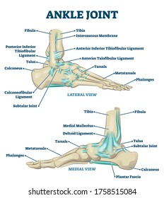 Ankle joint vector illustration. Labeled educational leg structure scheme. Physiological orthopedics explanation with isolated toe closeup. Cross section with phalanges, tibia, tarsals, ligament graph