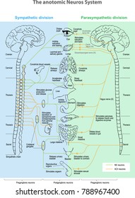 The anotomic Neuros System. Sympathetic division. Parasympathetic division. anatomy of the Central nervous system